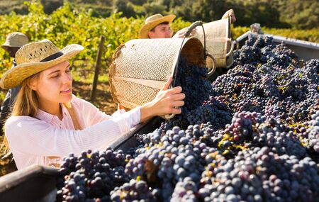 Successful female owner of vineyard filling truck with gathered harvest of ripe purple grapes