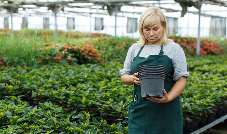 Female gardener holding pots while gardening with euphorbia pulcherrima in greenhouse