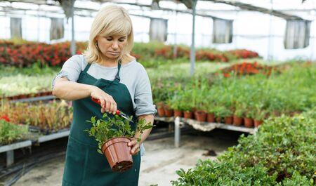 Portrait of mature female gardener  in apron cutting gardenia  in greenhouse