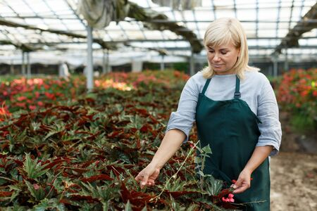 Portrait of mature female gardener working with begonia plants in greenhouse
