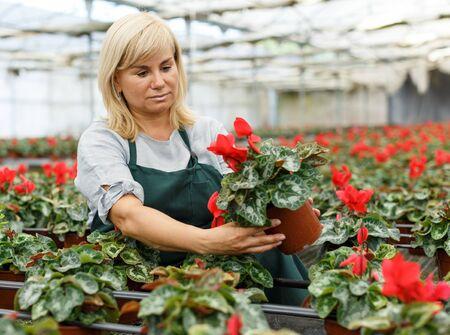 Cheerful mature woman gardener choosing  flowers of red cyclamen in pot  in hothouse 版權商用圖片