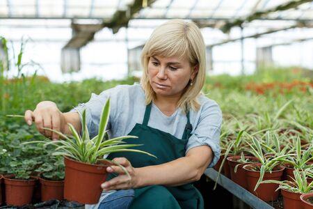 Mature female gardener with scissors  trimming plants of cinta  in greenhouse 版權商用圖片