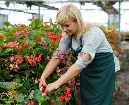 Mature female gardener with scissors working with red begonia plants in hothouse 版權商用圖片
