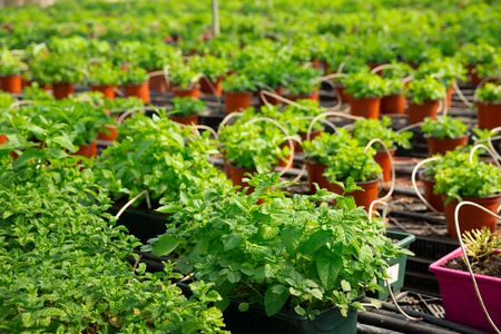 View of fresh green melissa seedlings in pots. Greenhouse plants