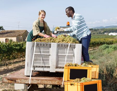 Positive woman and man vineyard workers sorting fresh grapes harvest in boxes outdoor
