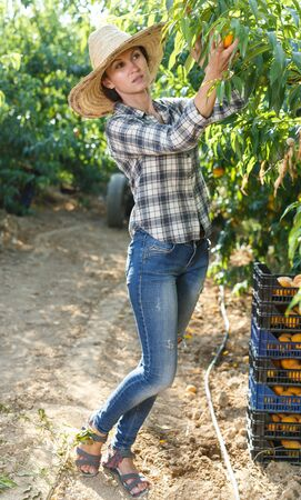 Young happy woman engaged in gardening, picking fresh ripe peaches in orchard Stock Photo