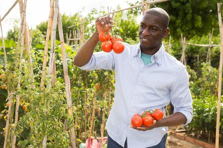 Man gardener picking fresh tomatoes during harvesting in  garden