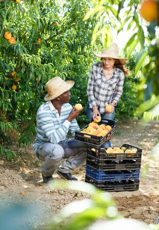 Smiling  African-American man harvesting in fruit garden with young woman, offering to taste of ripe peach 免版税图像
