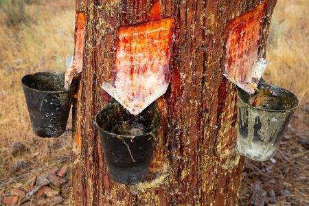 Extraction of resin in pines, Natural Park at sunny day, Spain Banco de Imagens