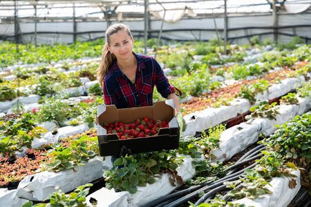 Pretty young female farmer working in greenhouse, harvesting ripe organic strawberries Stock Photo