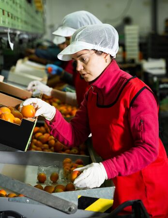 Two concentrated female fruit warehouse workers in process of sorting and packaging fresh apricots