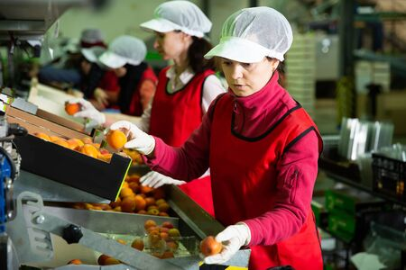 Portrait of two focused women in uniform calibrating and packaging harvested apricots Stock Photo