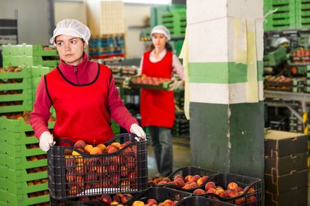 Skilled workwoman engaged on fruit sorting line, carrying plastic box with a peaches in the storage