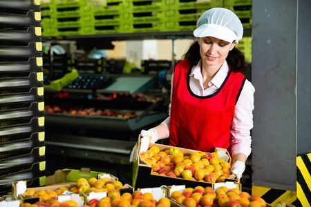 Smiling positive cheerful  workwoman engaged on fruit sorting line, carrying plastic box with apricots in storage 写真素材