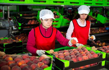 Two happy women working on producing sorting line at fruit warehouse, preparing peaches for packaging Stock Photo