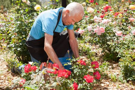 Portrait of senior man cutting back shoots of rose bushes at flowerbed in park Stock Photo