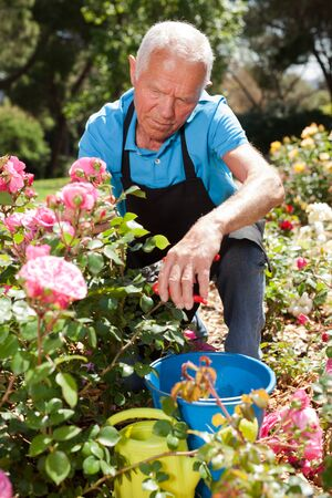Senior male cutting branches of blooming roses at flowerbed