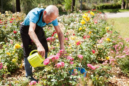 Senior male taking care and watering blooming roses at flowerbed
