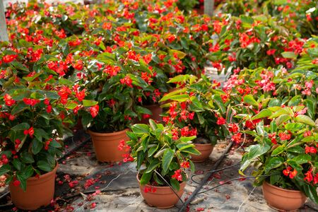 Rows of pots with flowering red begonia semperflorens cultivated in modern hothouse