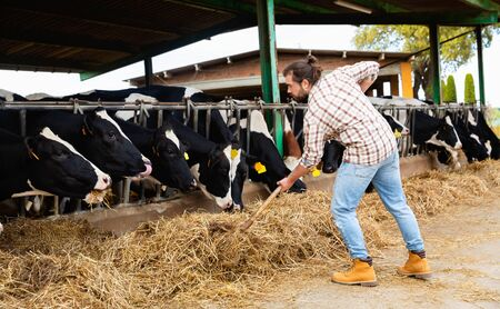 Young diligent positive  smiling bearded farmer working in cowshed, engaged in breeding of milking Holstein cows Stock Photo