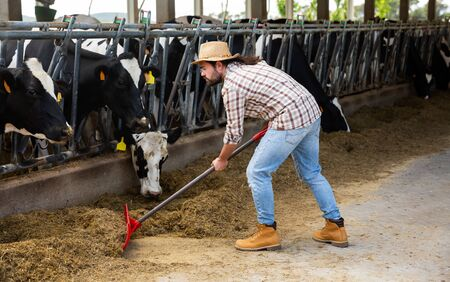 Confident young breeder feeding cows with hay in stall of dairy farm Stock Photo