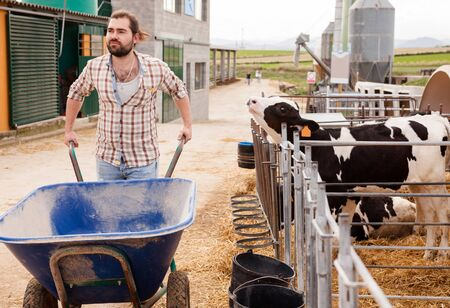 Young bearded farmer working on dairy farm, carrying cart near outdoor stall with calves