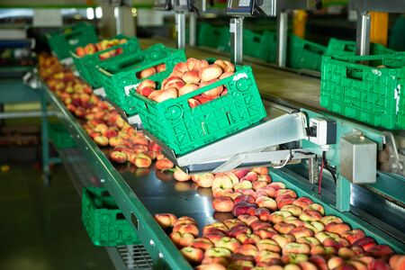 Fresh peaches on conveyor of  modern tech production sorting line at factory Stock fotó
