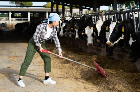Confident Chinese woman owner of small dairy farm working in stall, feeding cows
