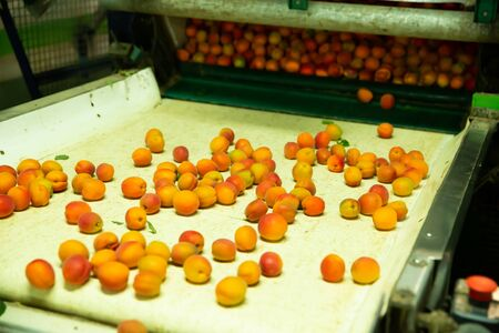 Fresh apricots on conveyor line of sorting and packaging
