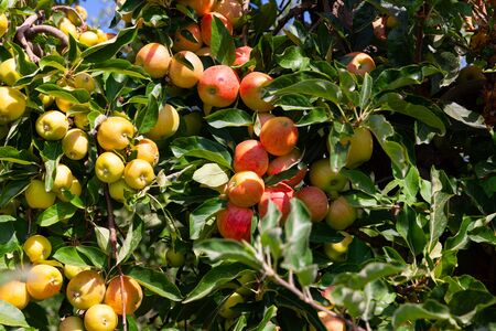 Closeup of green apples tree branches with ripe juicy fruits in garden. Harvest time