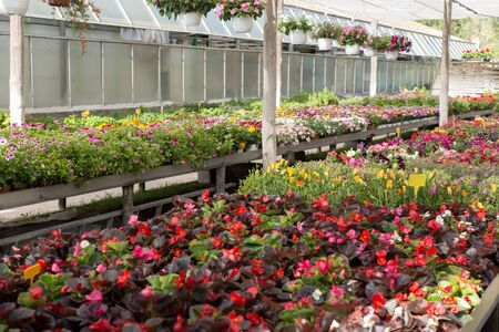 View of colorful plantation of flowers in sunny greenhouse