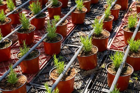 View of young bushes of rosemary in pots cultivated in greenhouse Banco de Imagens