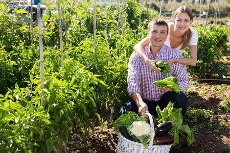 Positive couple picking  harvest of  green pepper  in garden outdoor