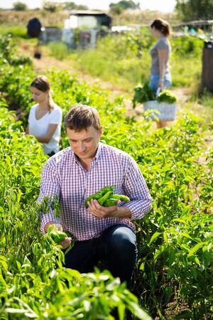 Husband and wife harvest bell peppers in garden beds Banco de Imagens
