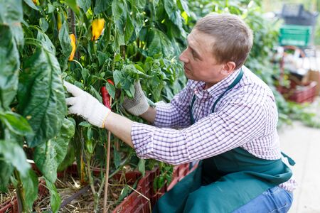 Farmer supervising growth of pepper in plants on his plantation