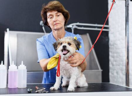 Little havanese getting drying hair with towel by skillful elderly female groomer after washing in salon Фото со стока