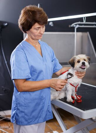 Senior female groomer performing combing and haircut of havanese puppy in pet salon