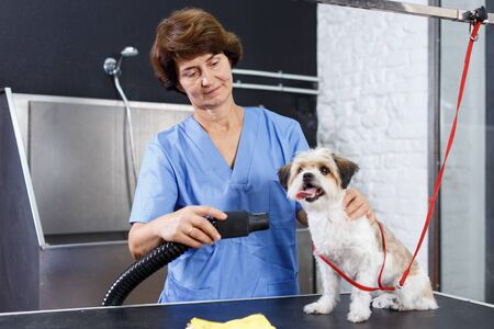 Elderly female groomer drying cute havanese puppy with special hairdryer in pet salon