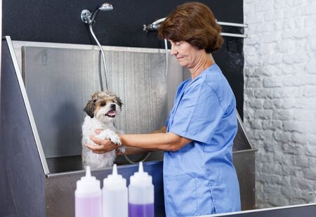 Mature woman washing and cleaning cute havanese at professional grooming salon