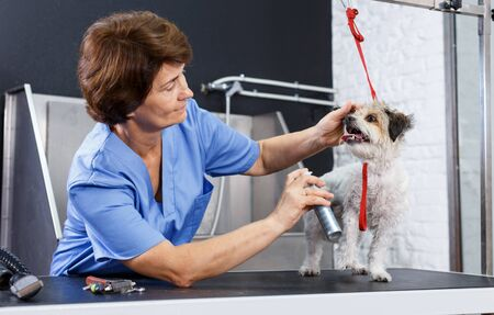 Portrait of caring elderly woman grooming cute havanese with cosmetics for dogs in professional pet salon Фото со стока