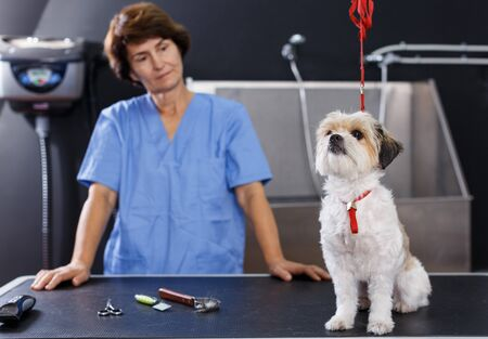 Portrait of cute bichon havanese on table for grooming on background with female groomer in salon for dogs