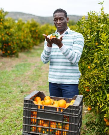 Smiling African-American farmer showing freshly harvested ripe mandarin oranges on citrus plantation 스톡 콘텐츠