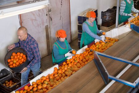 Female and male employees working on the producing sorting line at a fruit warehouse, preparing a mandarins for packaging and storing