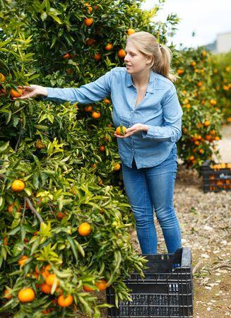 Positive female farmer picking carefully ripe mandarins on plantation