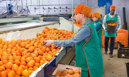 Female employee in the colored uniform sorting fresh ripe mandarins on producing grading line