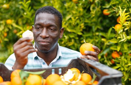 Closeup portrait of satisfied owner of citrus farm standing near box with freshly harvested ripe mandarins Banque d'images - 130737626