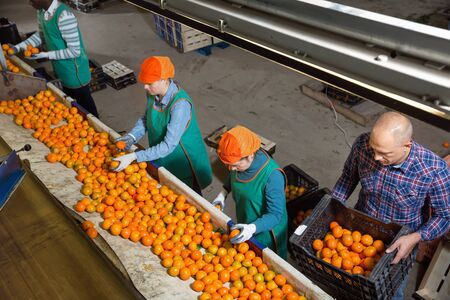 High angle view of group of diligent serious efficient people working on citrus sorting line at warehouse, checking quality of tangerines