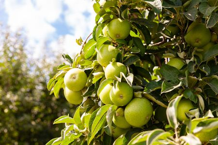 Rich farm harvest, ripe apples on branches in green foliage in summer orchard