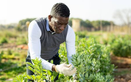 African American man controlling process of growing of legume plants in his kitchen garden Stockfoto
