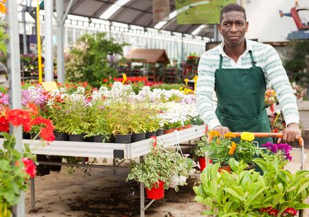 Successful African-American gardener working in greenhouse, pushing cart with blooming potted plants Banque d'images